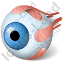 Eye Anatomy Icon
