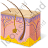 Skin Anatomy Icon